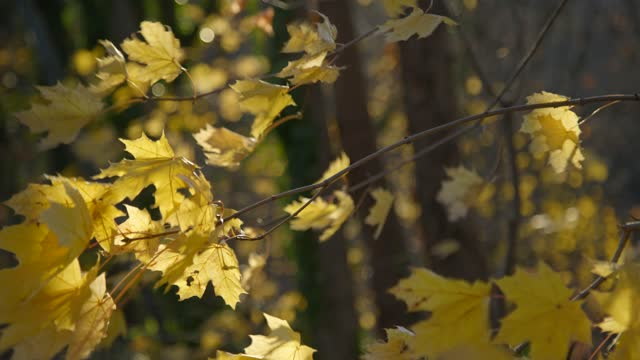 yellow autumn leaves flutter in the wind during the thanksgiving weekend on november 28, 2020 in baltimore, maryland. covid-19 cases are expected to... - branch stock videos & royalty-free footage