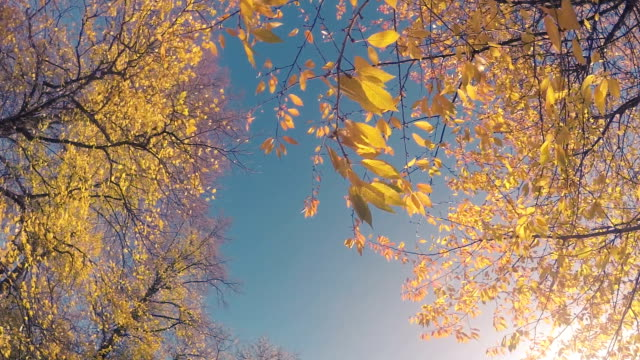 Yellow Autumn Leaves Slow Motion
