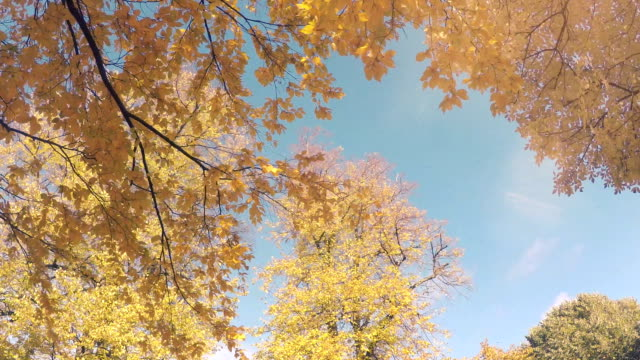 yellow autumn leaves - maple tree stock videos and b-roll footage