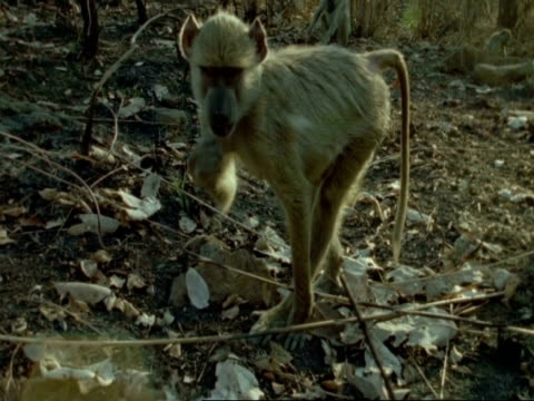 cu yellow baboon foraging, tanzania - foraging stock videos and b-roll footage