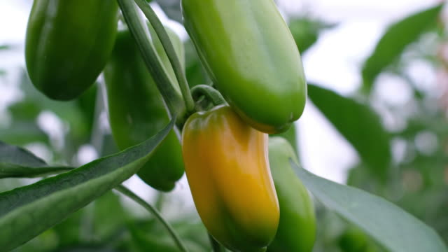 yellow bell peppers growing in villa de arista san luis potosi mexico on monday august 6 2018 - peperone video stock e b–roll