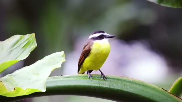 Yellow bellied bird perching on green stem in Rio, Brazil.
