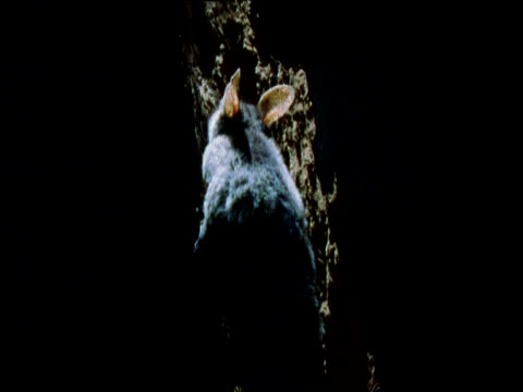 yellow bellied glider clambers up out of nest hole in tree trunk, mount gambier, south australia - gliding stock videos and b-roll footage