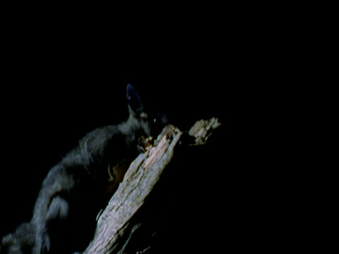 yellow bellied glider climbs branch and leaps off of it at night, mount gambier, south australia - gliding stock videos and b-roll footage