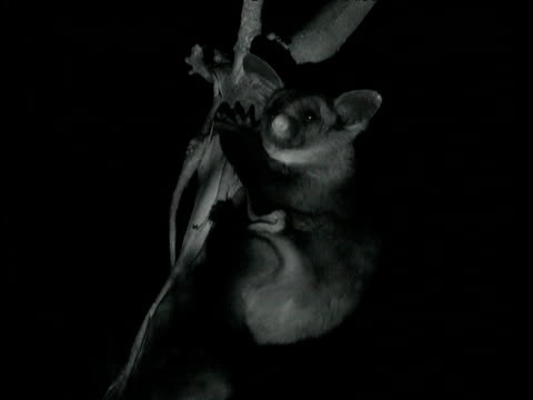 yellow bellied glider clings to gum tree in forest at night, mount gambier, south australia - gliding stock videos and b-roll footage
