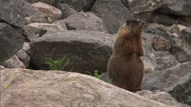 Yellow bellied marmot (Marmota flaviventris) calls on rock, Yellowstone, USA