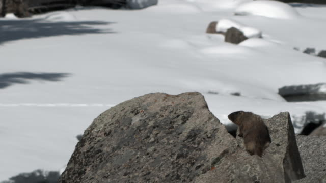 yellow bellied marmot on rock amidst snow. - roditore video stock e b–roll