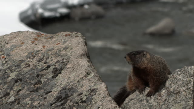 Yellow bellied Marmot on rock.