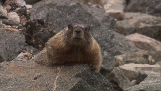 Yellow bellied marmot (Marmota flaviventris) relaxes on rock, Yellowstone, USA