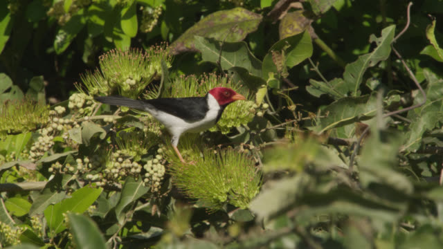 Yellow billed cardinal (Paroaria capitata) feeds on flowers in tree.