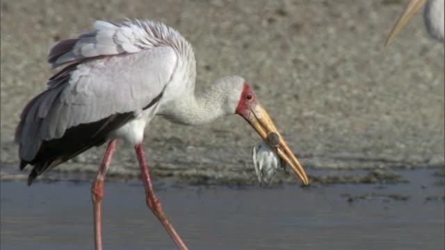 Yellow billed stork (Mycteria ibis) carries dead sandpiper, Lake Magadi, Kenya