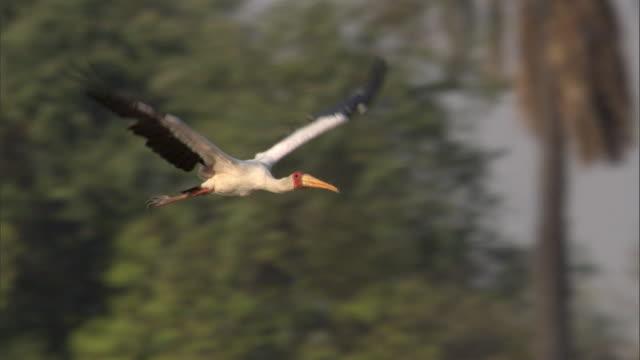 Yellow billed stork (Mycteria ibis) flies over river, Luangwa, Zambia