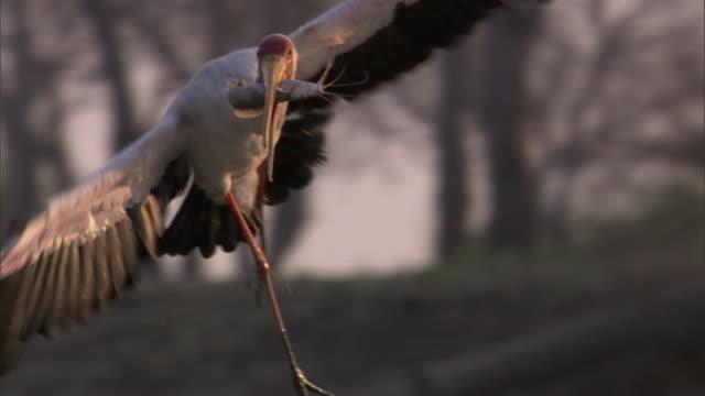 Yellow billed stork (Mycteria ibis) flies with catfish prey, Luangwa, Zambia