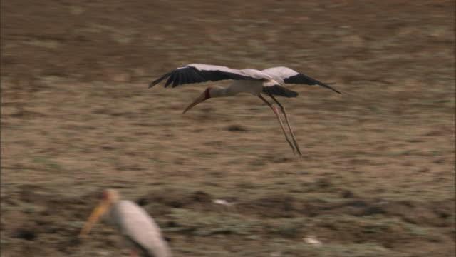 Yellow billed stork (Mycteria ibis) lands on riverbank, Luangwa, Zambia