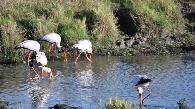 Yellow billed storks and other african birds fishing in a pond of water