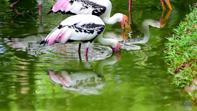 Yellow billed storks feeding fish.