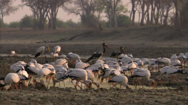 Yellow billed storks (Mycteria ibis) fishing in river, Luangwa, Zambia