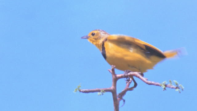a yellow bird lands in the top of a tree. - perching stock videos & royalty-free footage