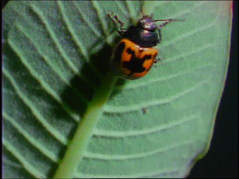 yellow + black spotted beetle crawling on stem of leaf - animal antenna stock videos & royalty-free footage