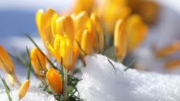 Yellow blooming crocuses on snow in city park. Tremble on the wind, closeup. Rays of the sun. Selective focus. Slow motion video.