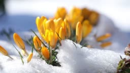 Yellow blooming crocuses on snow in city park. Tremble on the wind, closeup. Rays of the sun. Selective focus. 59.94 fps video