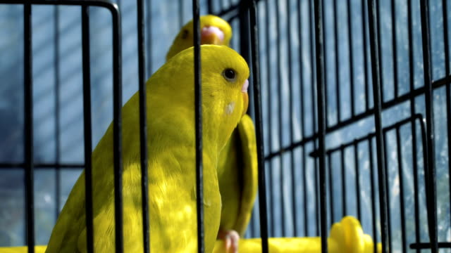 yellow budgerigars in a cage - sideways glance stock videos & royalty-free footage