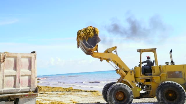 a yellow bulldozer manipulates to pour sand and seaweed into dump truck - meeresalge stock-videos und b-roll-filmmaterial