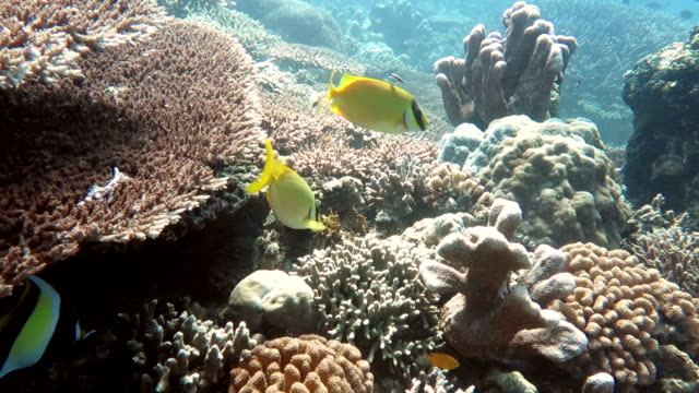 Yellow Butterfly Fishes