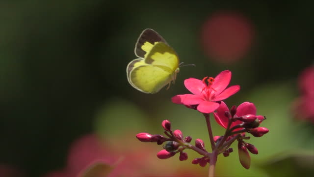 yellow butterfly on pink flower super slow motion - farfalla video stock e b–roll