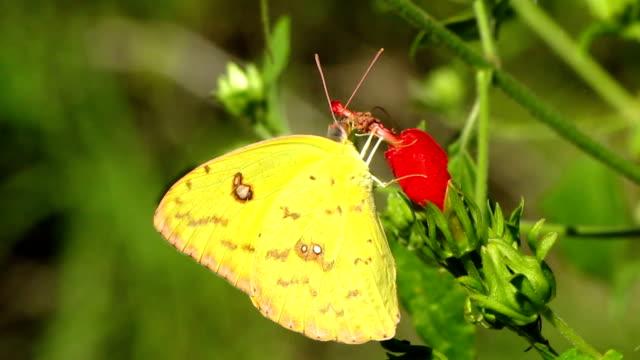 vidéos et rushes de papillon jaune - des papillons dans le ventre