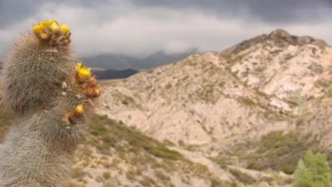 yellow cactus flower in potrerillos mountain, mendoza province argentina - cactus stock videos & royalty-free footage