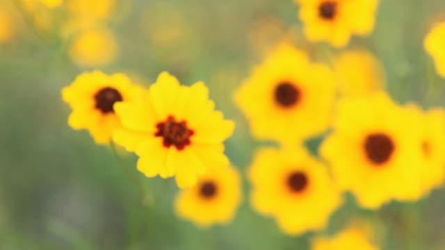 cu focusing yellow calliopsis (coreopsis tinctoria) growing on field, flagstaff, arizona, usa - flagstaff arizona video stock e b–roll