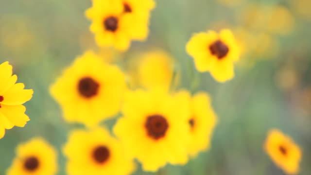 cu pan selective focus yellow calliopsis (coreopsis tinctoria) growing on field, flagstaff, arizona, usa - flagstaff arizona video stock e b–roll