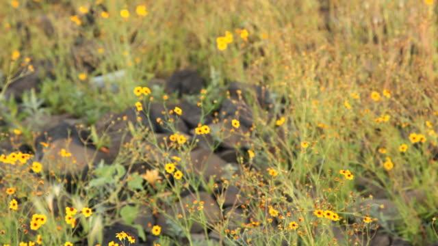 ms td selective focus yellow calliopsis (coreopsis tinctoria) growing on field, flagstaff, arizona, usa - flagstaff arizona video stock e b–roll