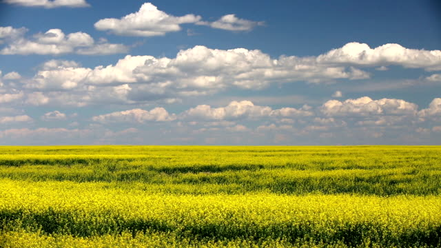 yellow canola field in bloom - horizon over land stock videos & royalty-free footage