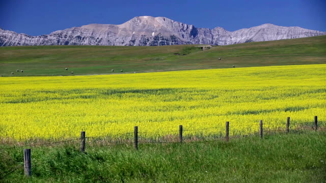 yellow canola field in bloom - hay stock videos and b-roll footage