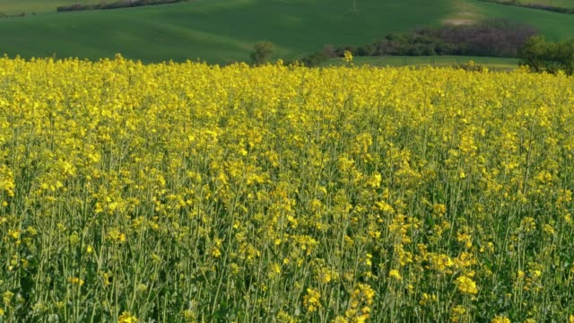 yellow canola field with green fields in background, oil seed rape flowers in spring - rapeseed oil stock videos and b-roll footage