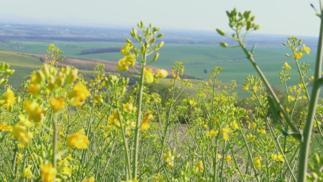 yellow canola oil flowers and bees on light breeze on sunny day with green fields in background. flowering oilseed rape in spring - flowering plant stock videos & royalty-free footage