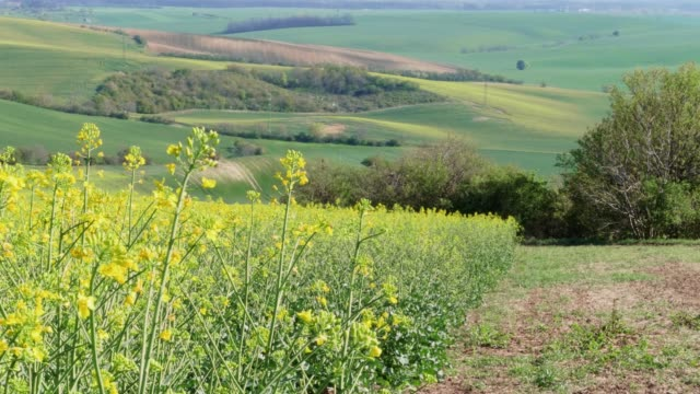yellow canola oil flowers and bees on light breeze on sunny day with green hills in background. flowering oilseed rape in spring - rapeseed oil stock videos and b-roll footage