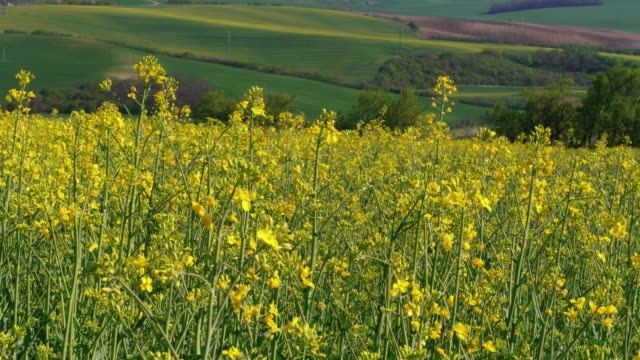 yellow canola oil flowers and flying bees with green fields in background, flowering oilseed rape and insects in spring - rapeseed oil stock videos and b-roll footage
