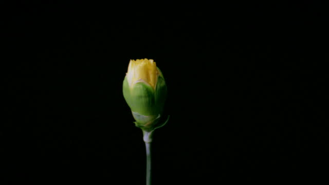 t/l, cu, yellow carnation opening against black background  - carnation flower stock videos & royalty-free footage