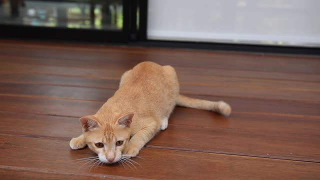 yellow cat relaxing on wooden floor - pampered pets stock videos and b-roll footage