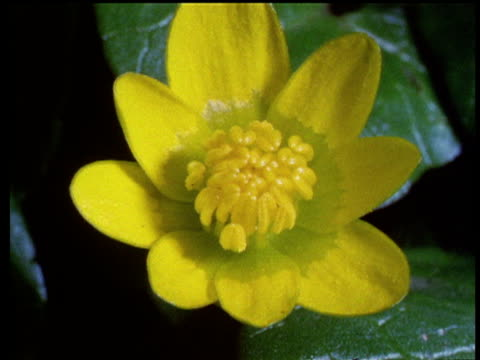 Yellow celandine flower opens up in spring.