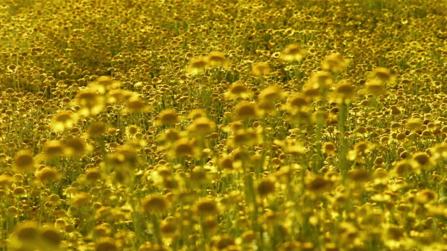 yellow chamomile flowers bloom in bright sunlight. - yellow stock videos & royalty-free footage