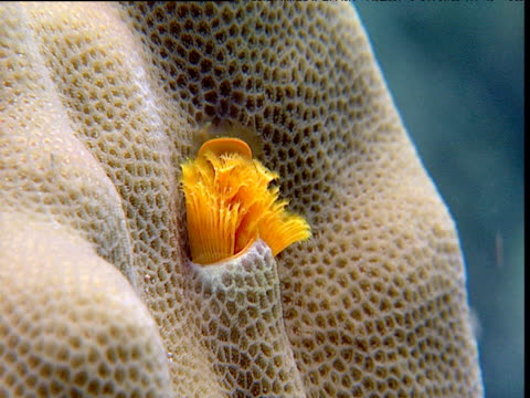 Yellow Christmas tree worm unfurls from cavity in coral, Sulawesi