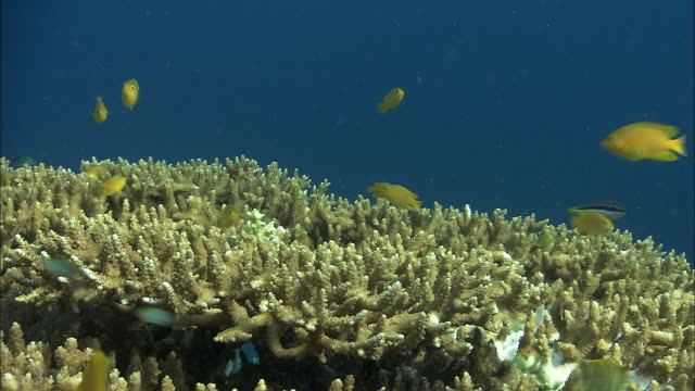 Yellow chromis (Chromis analis) swim over coral reef, West Papua, Indonesia