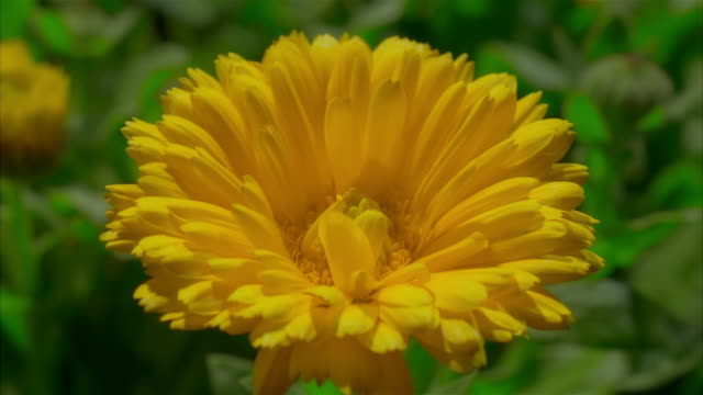 t/l, cu yellow chrysanthemum flower closing and opening - chrysanthemum stock videos & royalty-free footage