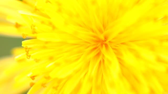 yellow chrysanthemum flower filling the frame - chrysanthemum stock videos & royalty-free footage