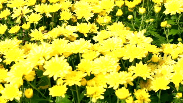 yellow chrysanthemum flower. - chrysanthemum stock videos & royalty-free footage