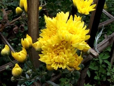 yellow chrysanthemum flower15 - chrysanthemum stock videos & royalty-free footage